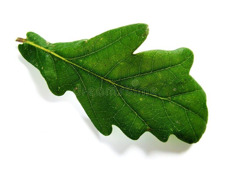 liść zielony dąb zdjęcia royalty free