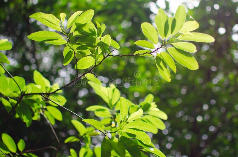 liść zielony drzewo obraz royalty free