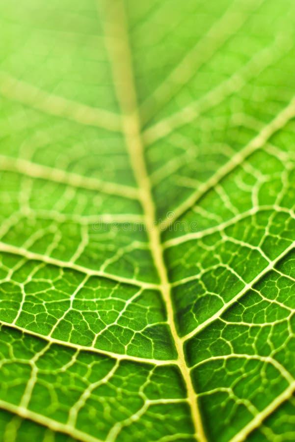 liść zielony macro obrazy stock