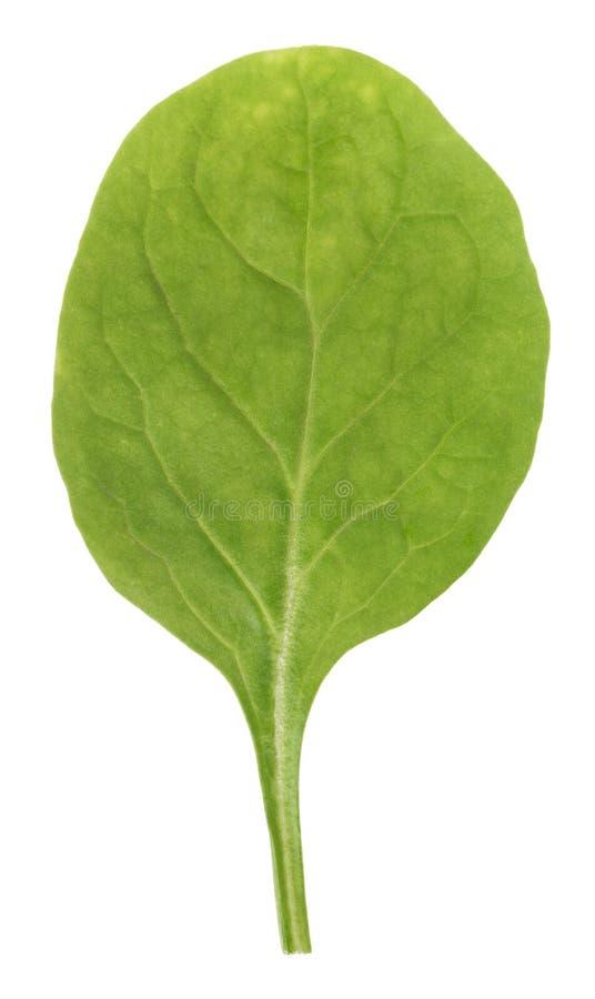 liść zielony szpinak zdjęcia royalty free
