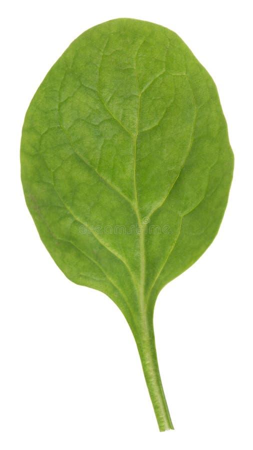 liść zielony szpinak obraz stock