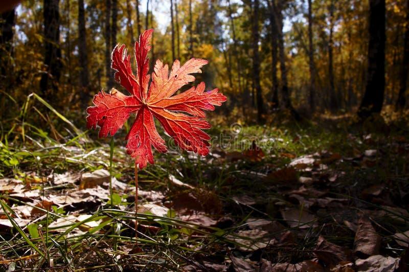 liści jesienią obraz royalty free