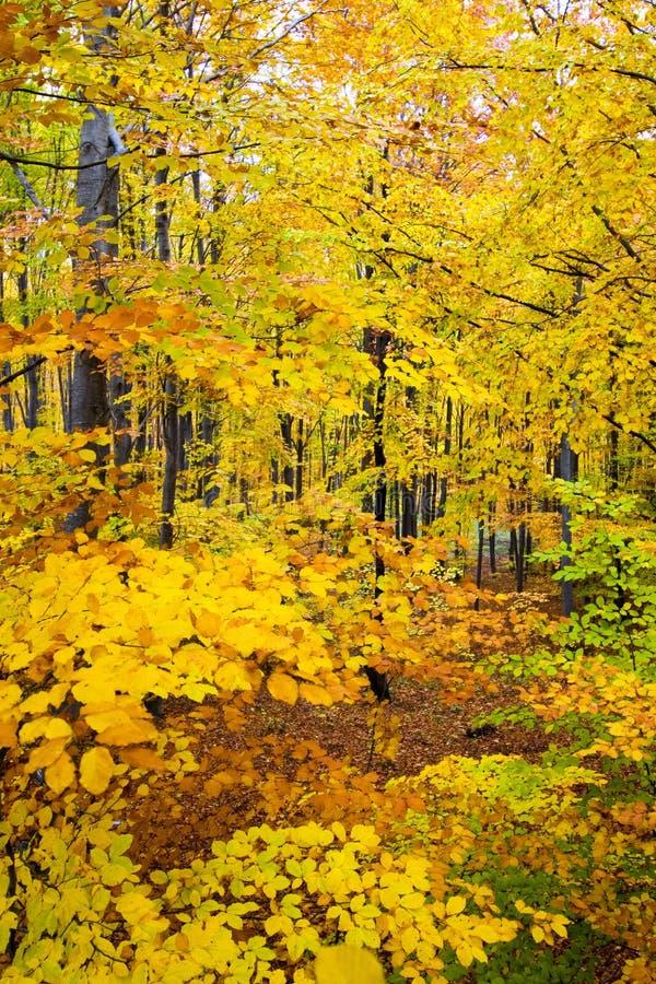 liści jesienią gęsty las obraz royalty free