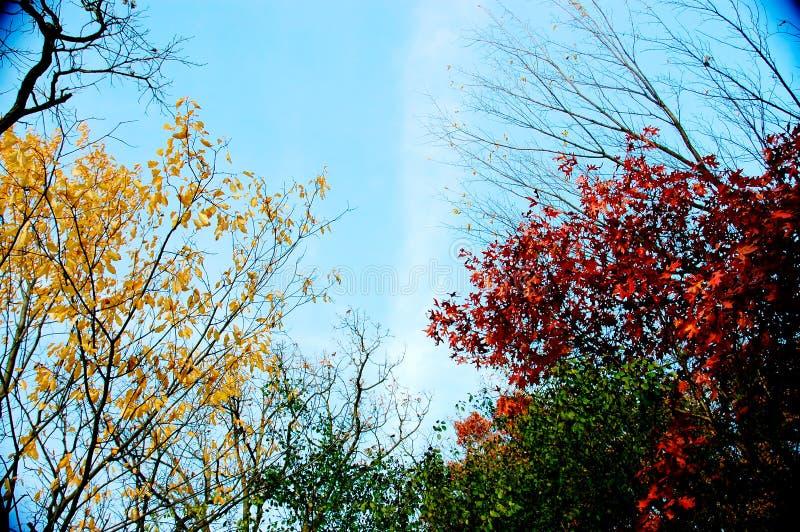 liści jesienią niebieskie niebo fotografia royalty free