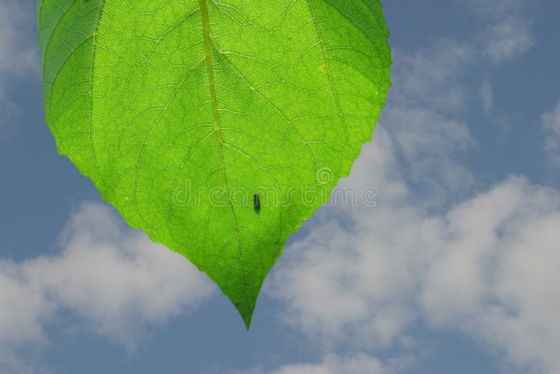 liści słonecznik obraz stock