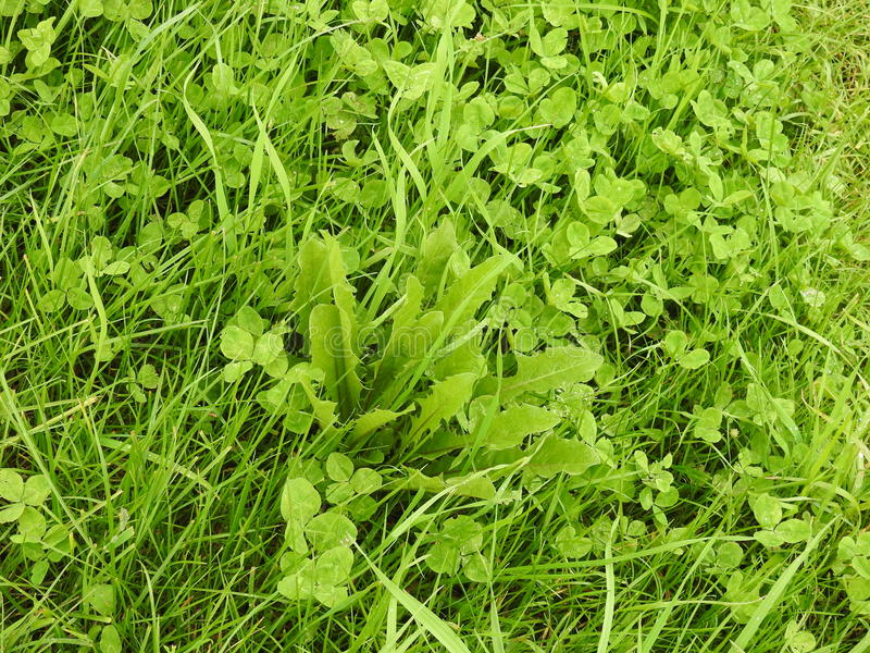 4 liści trufla w polu, rzeszoto obrazy royalty free
