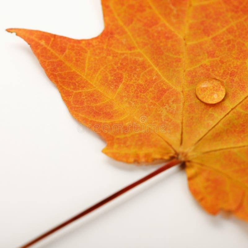 liści white klonowy zdjęcie royalty free
