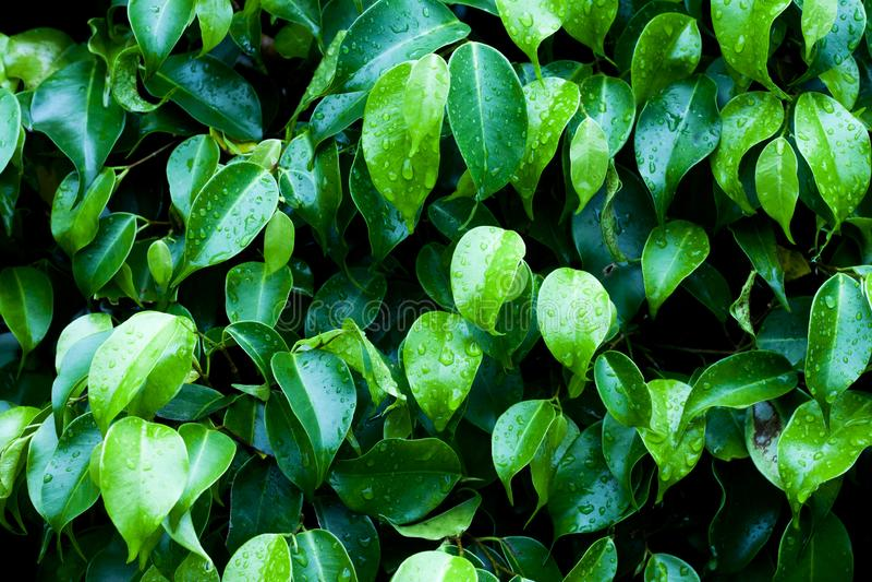 Liścia Ficus Benjamina ciemny brzmienie obraz stock