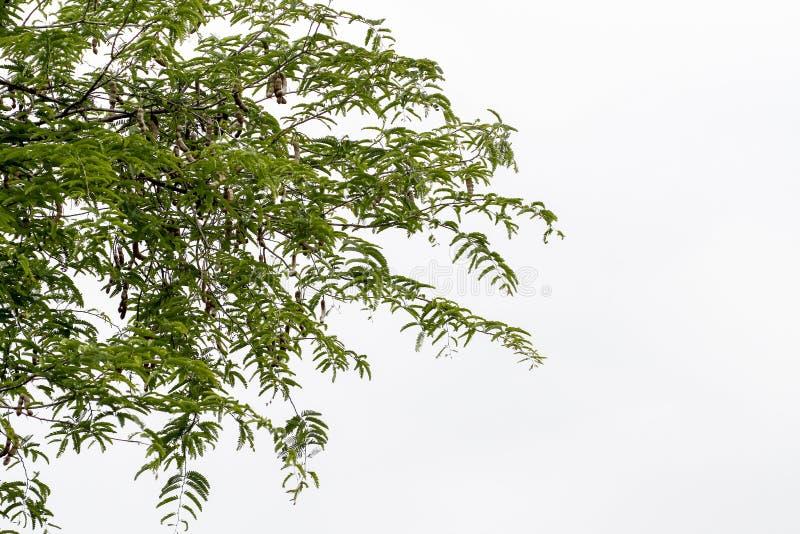 liścia i kija tamaryndy słodki drzewo na białym tle zdjęcia stock