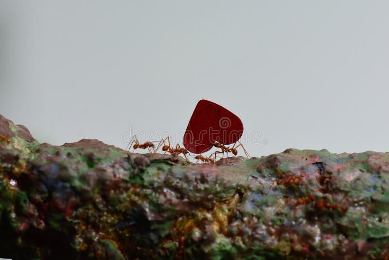 Liścia krajacza mrówki przy pracą zdjęcia royalty free