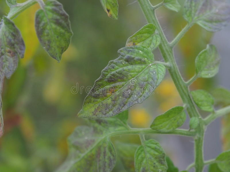 Liścia niedostatku pomidorowa odżywka zdjęcia stock