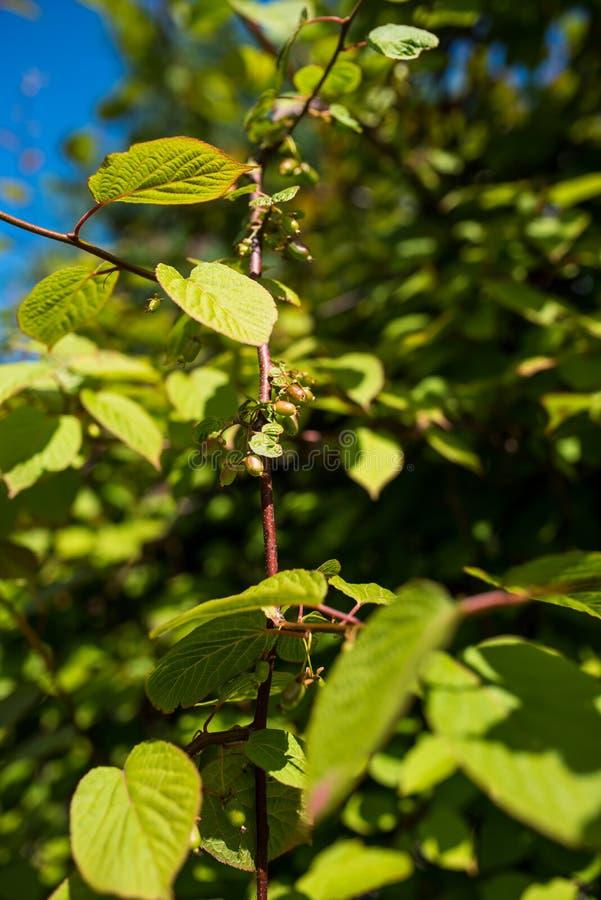Liścia zimnotrwały kiwi, Actinidia kolokmita zdjęcia stock