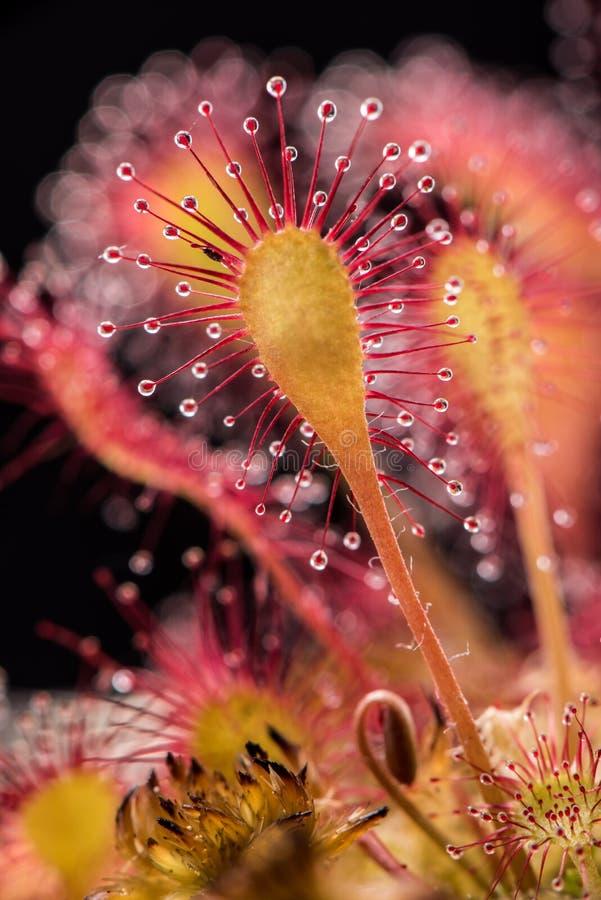 liściasta rosiczka obraz stock