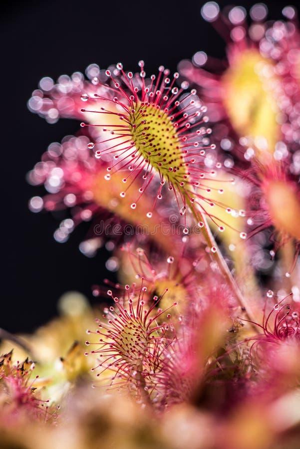 liściasta rosiczka zdjęcia stock