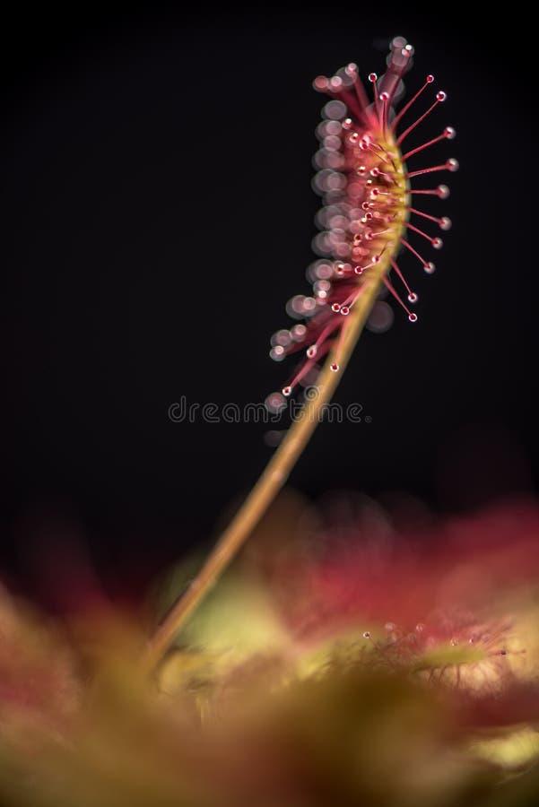 liściasta rosiczka zdjęcia royalty free