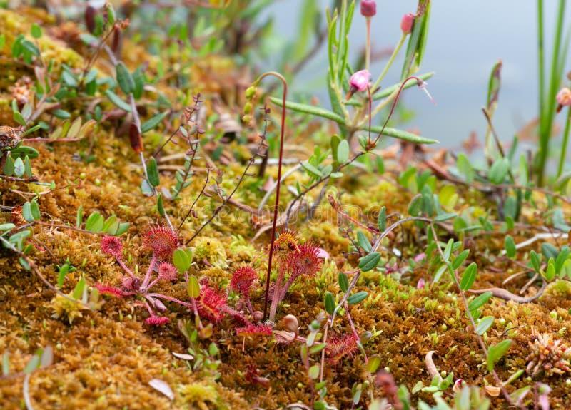 Liściasta rosiczka, Drosera rotundifolia rośliny w naturalnym mokrym środowisku obrazy royalty free