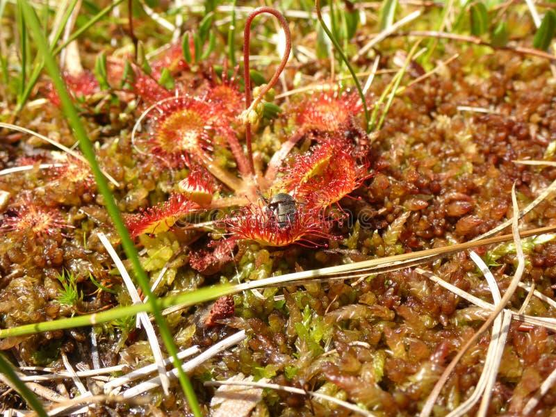 Liściasta rosiczka z torfowiskowym mech zdjęcia stock