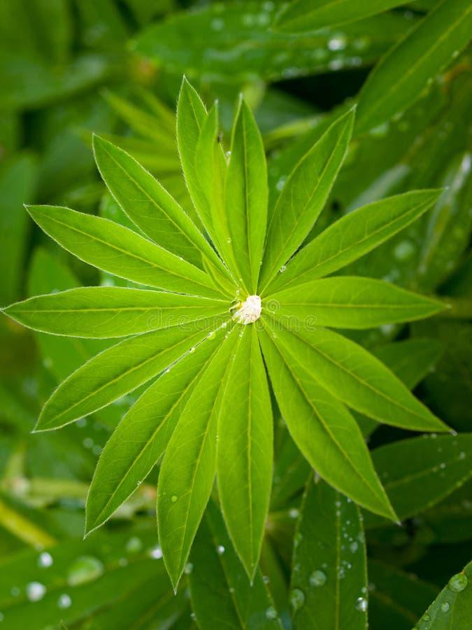 Liściasty lupine Lupinus polyphyllus z wodnymi kroplami obrazy royalty free