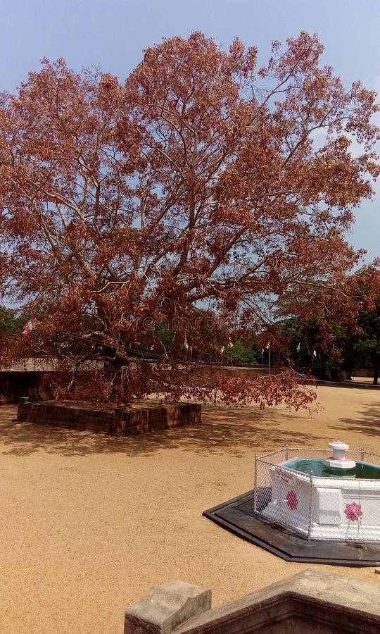 Liście Bo drzewa wizerunek obrazy royalty free