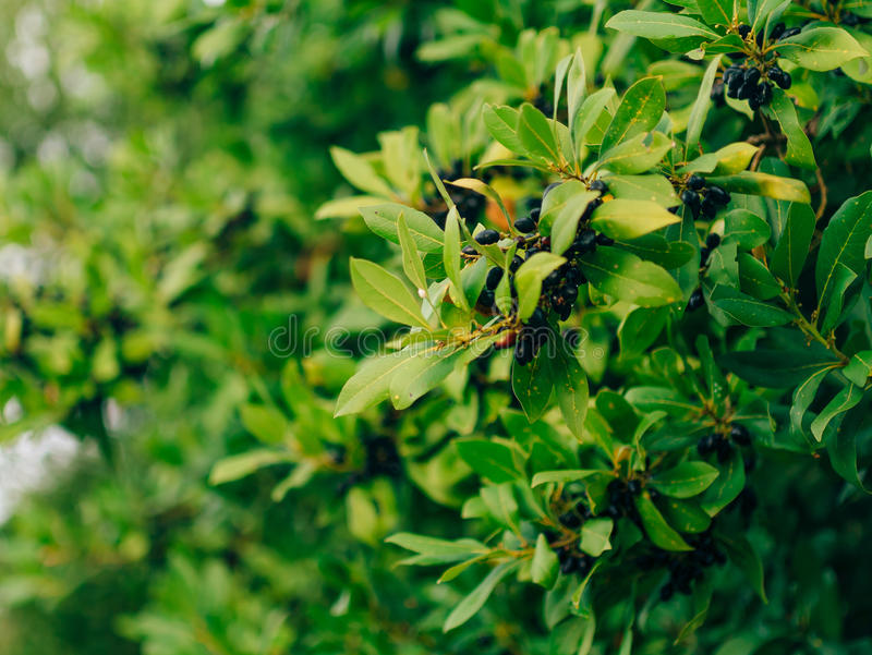 Liście bobek i jagody na drzewie Laurowy liść w dzikim zdjęcia royalty free