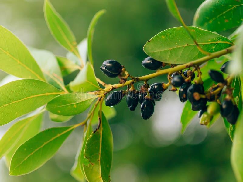 Liście bobek i jagody na drzewie Laurowy liść w dzikim zdjęcie stock