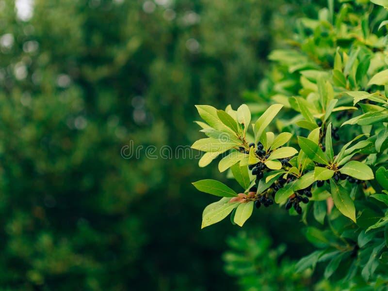 Liście bobek i jagody na drzewie Laurowy liść w dzikim obrazy stock