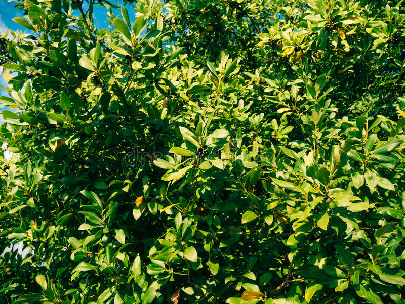 Liście bobek i jagody na drzewie Laurowy liść w dzikim zdjęcie royalty free