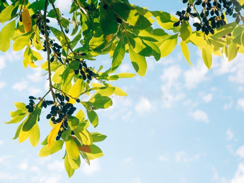Liście bobek i jagody na drzewie Laurowy liść w dzikim obrazy royalty free