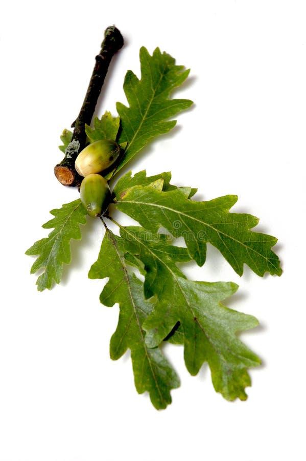 liście dębowi żołędzie zdjęcia stock