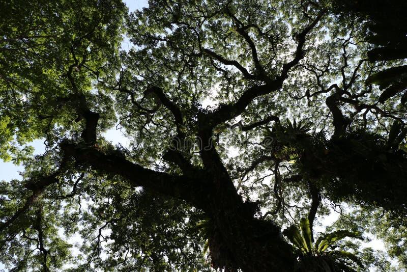 Liście duży tropikalny drzewo widzieć od puszka zdjęcie royalty free