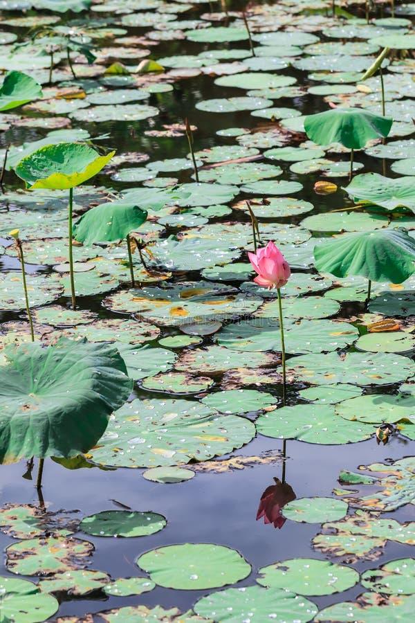 Liście i kwiat lotos w stawie obraz royalty free