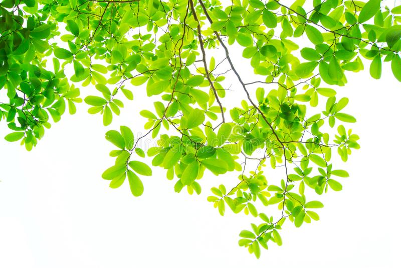 Liście i są zieleni na białym tle zdjęcia stock