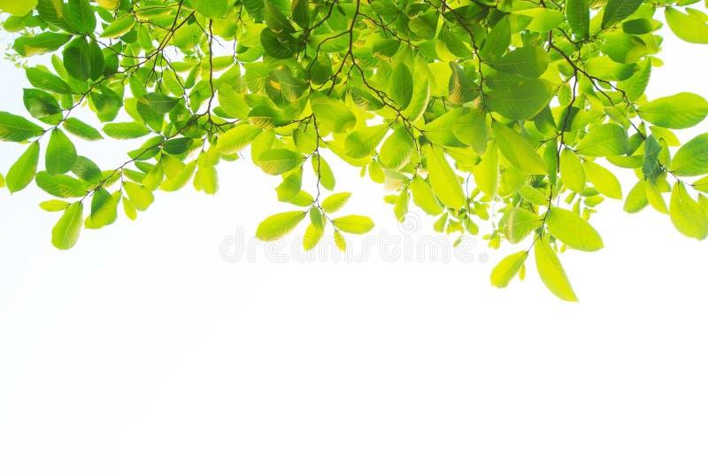 Liście i są zieleni na białym tle zdjęcie royalty free