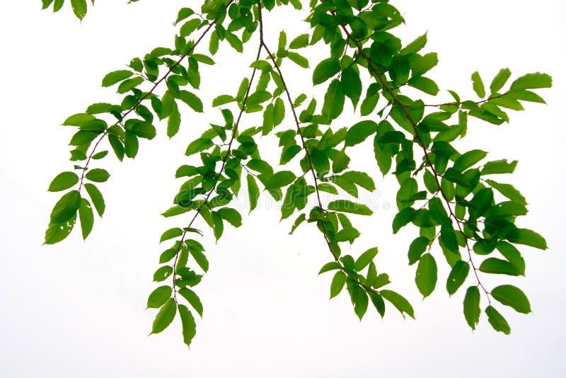 Liście i są zieleni na białym tle zdjęcie stock