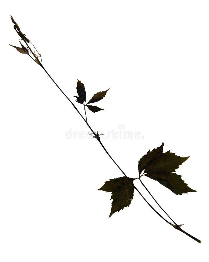 Liście i trzon Virginia pełzacz fotografia stock