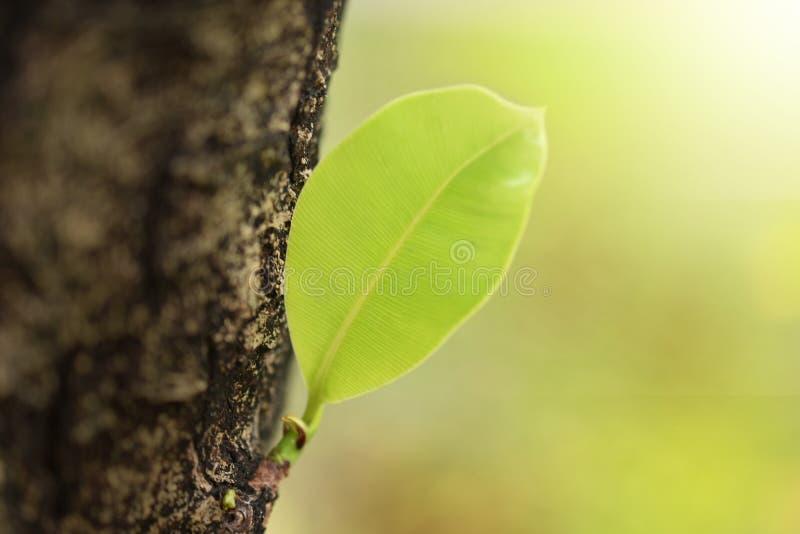 Liście kiełkuje od dużych drzew fotografia stock