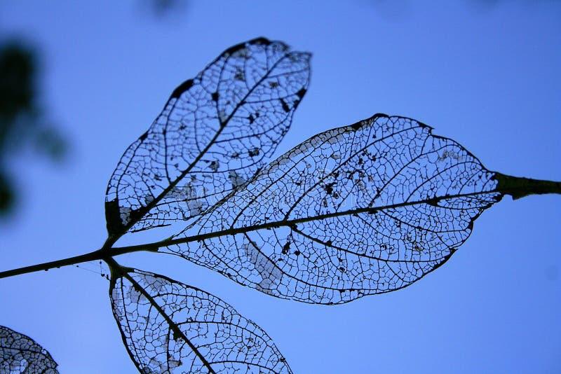 Liście klonowi jedzący gąsienicami zdjęcia royalty free
