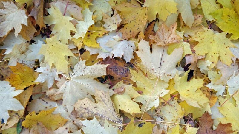 liście klonowi jesieni zdjęcie royalty free