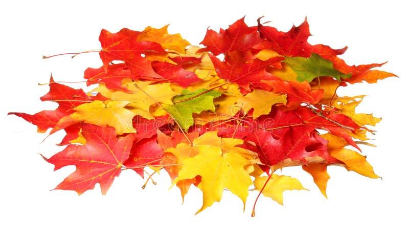 Liście klonowi odizolowywający na białym tle. Barwioni jesień liście fotografia stock