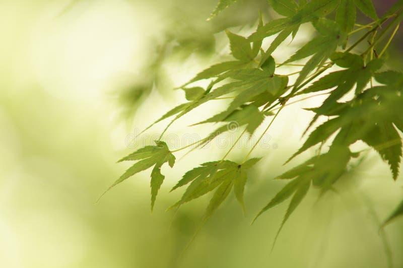 Liście Klonowi Przed spadkiem - Kyoto zdjęcie stock