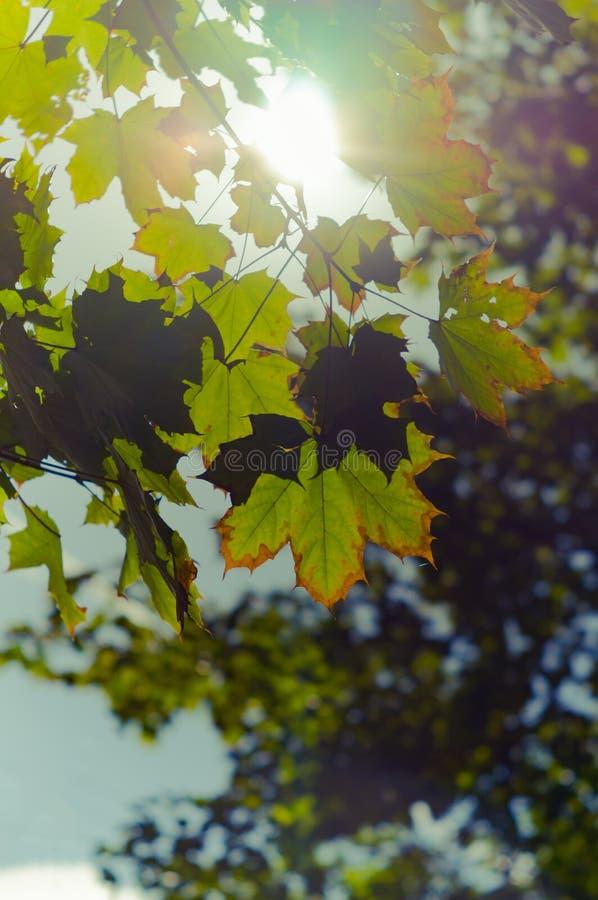 Liście klonowi zaczyna obracać kolor żółtego w promieniach słońce pocz?tek jesie? Miękka ostrość, wybrana ostrość Pionowo fotogra obraz royalty free