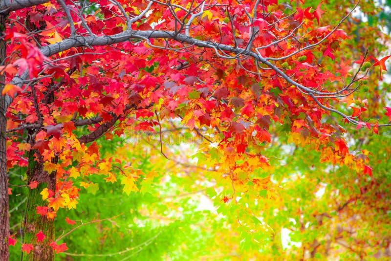 Liście klonu czerwonego w sezonie jesiennym zamazane tło w Kitakyushu, prefektura Fukuoka, Japonia. P?ytki ostro?? skutek obraz stock