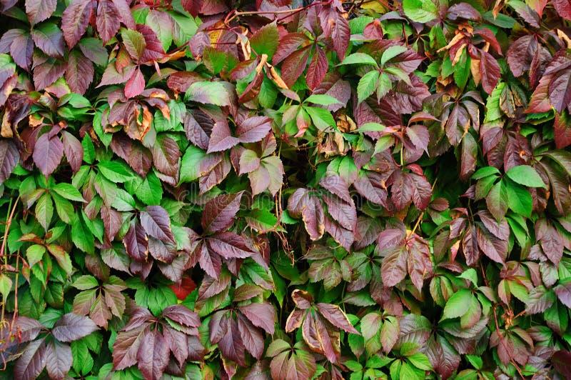 Liście loach Ornamentacyjna roślina w spadku obrazy stock