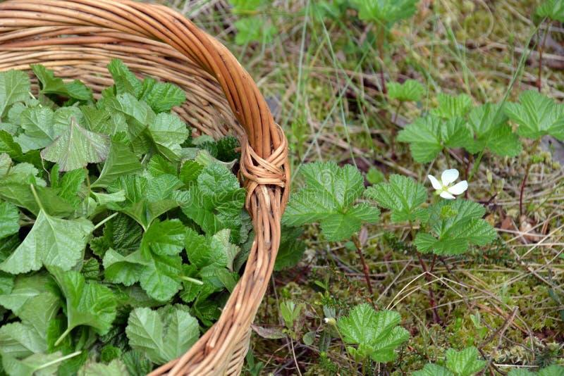 Liście moroszka w koszu w bagnie dla leczniczej ziołowej herbaty obraz stock
