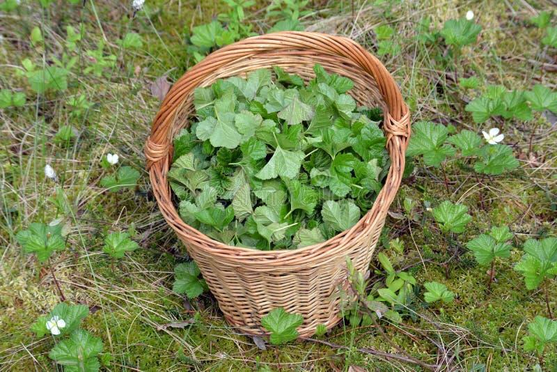 Liście moroszka w koszu w bagnie dla leczniczej ziołowej herbaty obraz royalty free