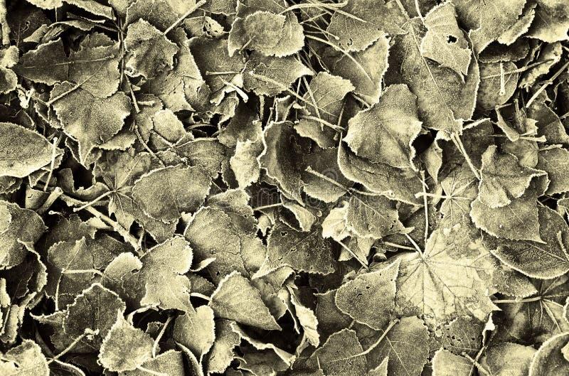 liście mrożone obrazy royalty free
