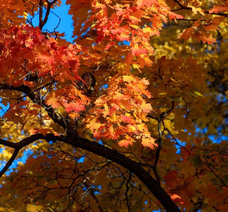 Liście na drzewie w spadku w parku zdjęcia stock