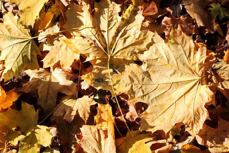 Liście na ziemi w jesieni jako tło obrazy royalty free