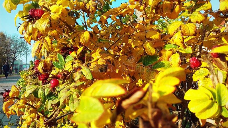 liście najlepszych żółte Jaskrawy krzak z małymi liśćmi i czerwonymi jagodami zdjęcia stock