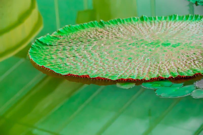 Liście niedawno urodzony lotos wiele ciernie pod liśćmi zdjęcie royalty free